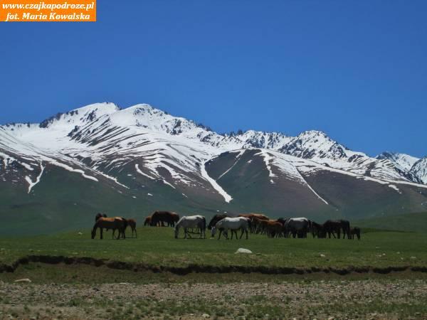 3. Latem Kirgizi przenoszą się nawyżej położone tereny bywypasać stada owiec ikoni. Przy drogach sprzedaje się kobyle mleko, kumys czyli alkoholową wersję mleka klaczy orazkurut - kulki zsuszonego jogurtu ospecyficznym ostrym smaku izapachu.