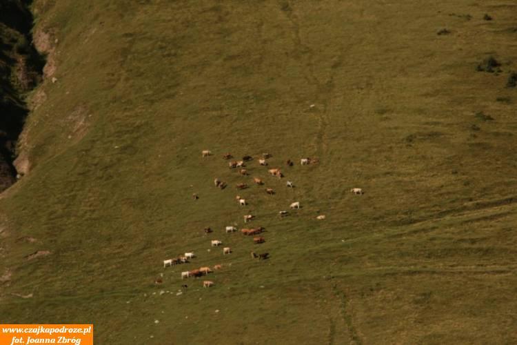 Ruszam. Mijam pasące się krowy, którychniebrakuje wcałej Gruzji aszczególnie tutaj wgórach.