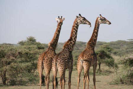 Zobacz żyrafy wTanzanii