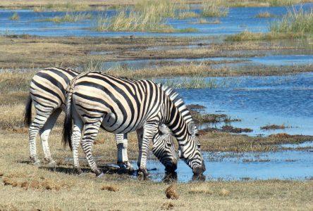 zebra-718278_1920